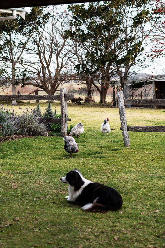Tui the border collie keeping an eye on the chickens.