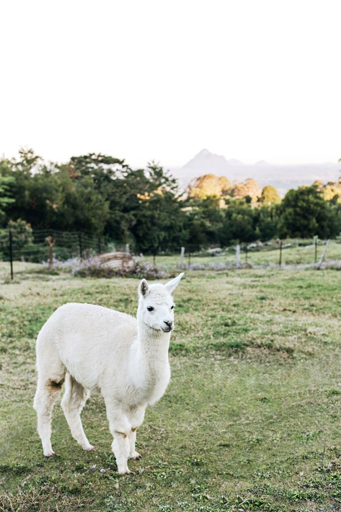 Moonlight, one of four alpacas on the farm. The Glass House Mountains are visible in the distance.