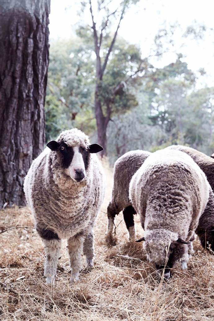 Sarah and Ian have pet Polwarths and Wiltshire horn sheep that graze under the pine trees.
