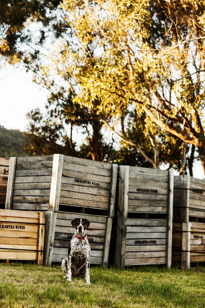 Prost, the German shorthaired pointer, at Courabyra Wines.