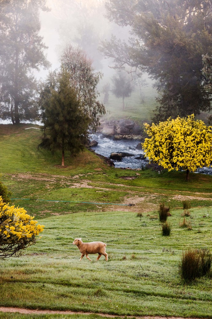 A resident sheep of Nimbo Fork Lodge, near Tumut, takes an early morning walk.
