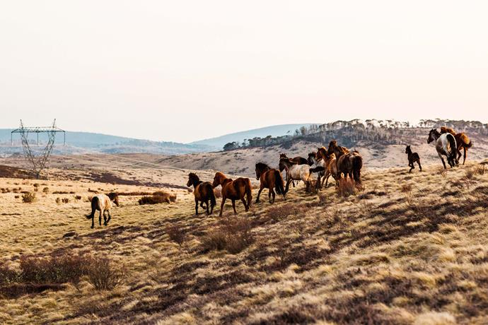 Wild brumbies at Long Plain, in the Mount Kosciuszko National Park, where the headwaters of the Murrumbidgee River arise from the wet heath and bog.