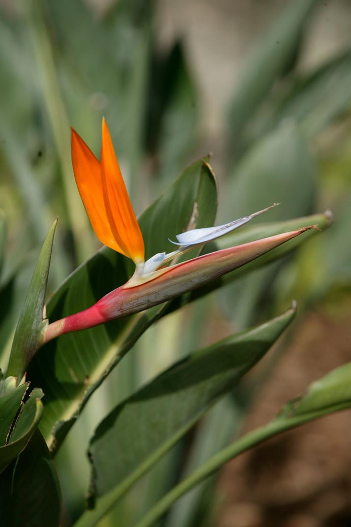 January is the best time to deadhead bird of paradise plants. *Photo: Brent Wilson / bauersyndication.com.au*