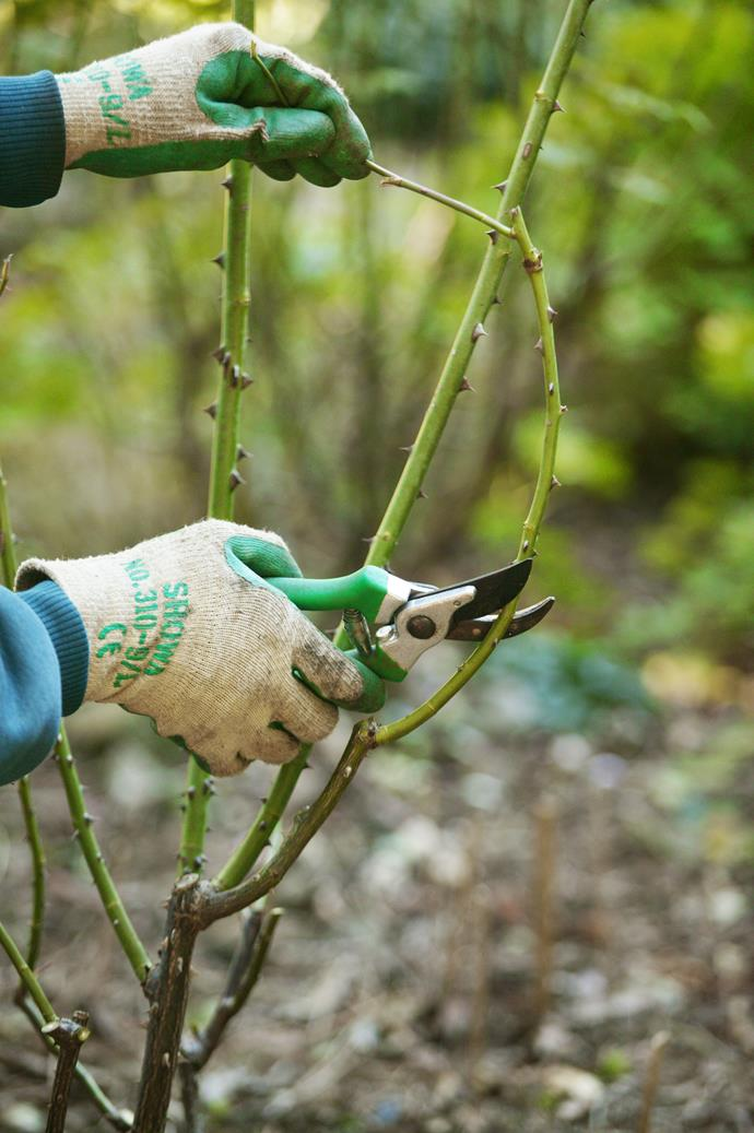 Opt for sharp bypass pruning shears when maintaining rose bushes. This will prevent the stems from being crushed. *Photo: Brent Wilson / bauersyndication.com.au*
