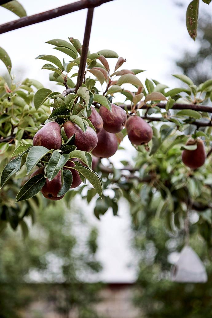 Failing to prune could lead fruit trees to produce less fruit. *Photo: Sue Stubbs / bauersyndication.com.au*