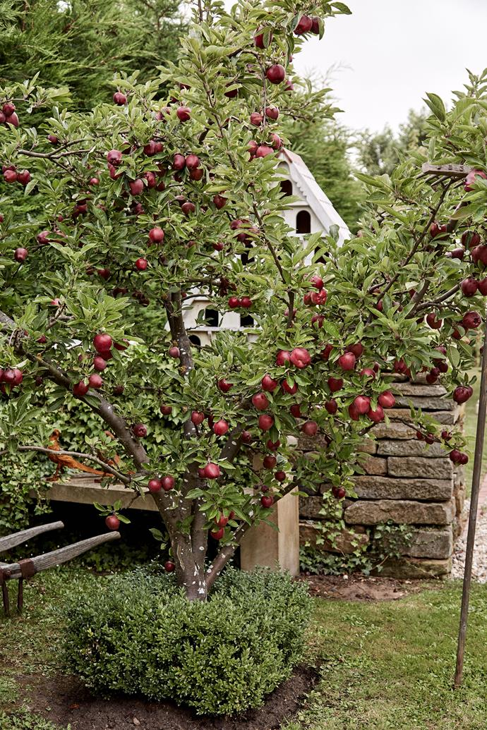 An example of an apple tree pruned in a vase formation. *Photo: Susan Stubbs / bauersyndication.com.au*