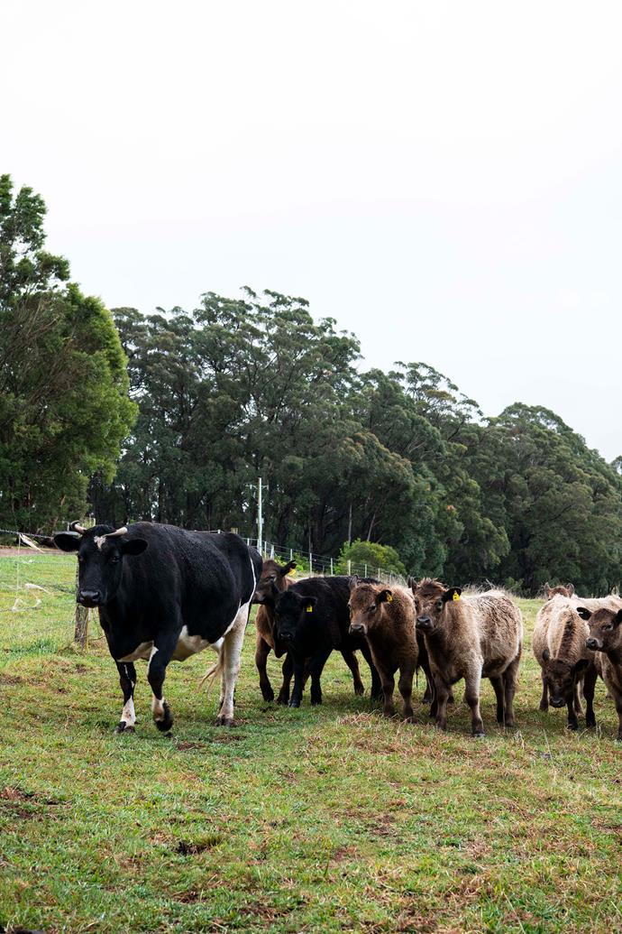 Holstein Friesian cow Lulu leading the herd.
