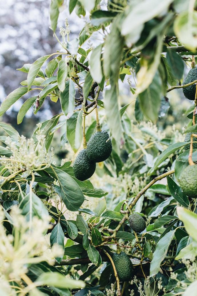 Locally grown Hass avocados.