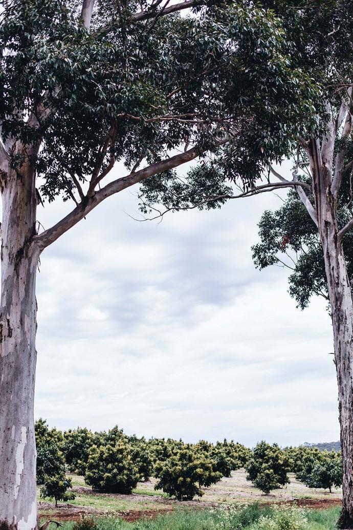 Karri trees framing an avocado orchard.