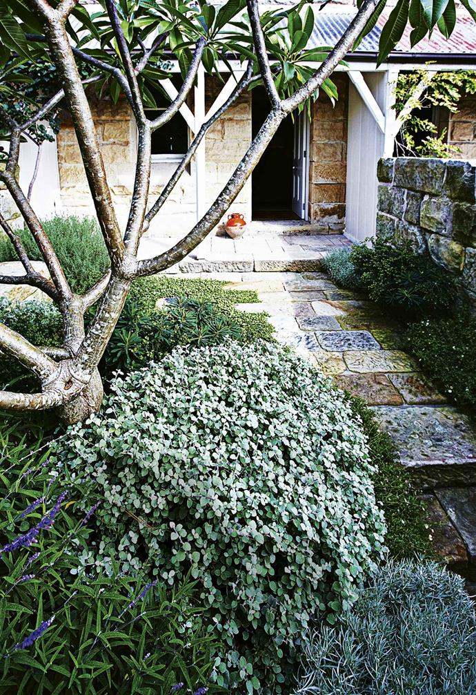 "Creeping kidney weed (*dichondra repens*) is an effective groundcover in this front garden, preventing the growth of weed and adding a stunning visual alternative to grass. A mature tree such as this frangipani, adds instant age and character to this garden. *Design: [Spirit Level Designs](http://spiritlevel.com.au/|target=""_blank""
