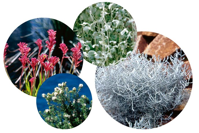 """**4 key plant picks** (from left) *Anigozanthos* 'Dwarf Delight' (kangaroo paw) adds fresh and long-lasting colour. *Westringia fruticosa* (native rosemary) shines as a hedging or screening plant. *Dichondra argentea* 'Silver Falls' is a creeping plant with long, silver trailing stems. *Leucophyta brownii* 'Silver Nugget' (dwarf cushion bush) will flourish in a sunny spot.<br><br>*To find out more about Matt Leacy's work, visit [Landart Landscapes](https://www.landart.com.au/