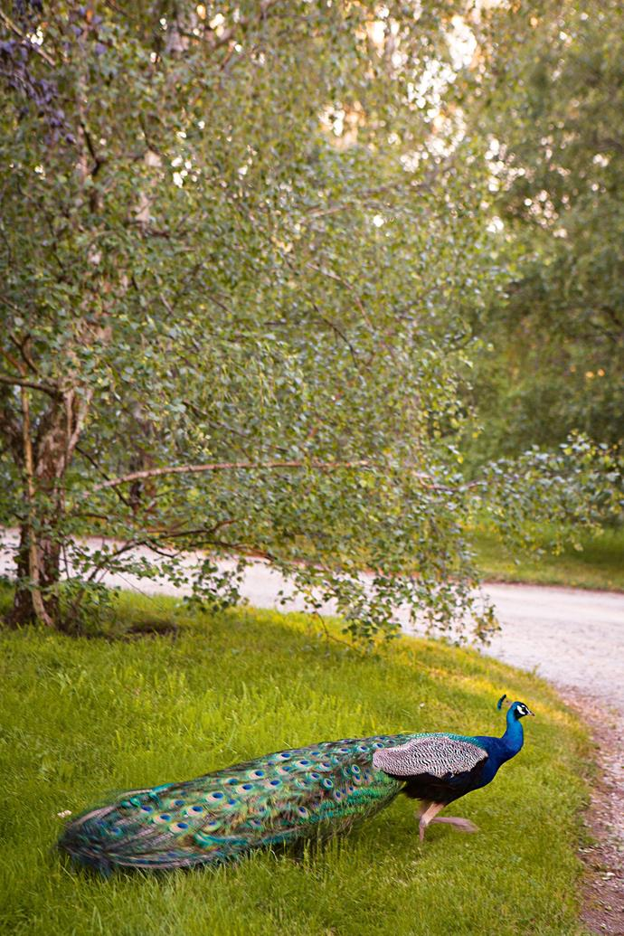 About 20 peacocks roam the grounds.