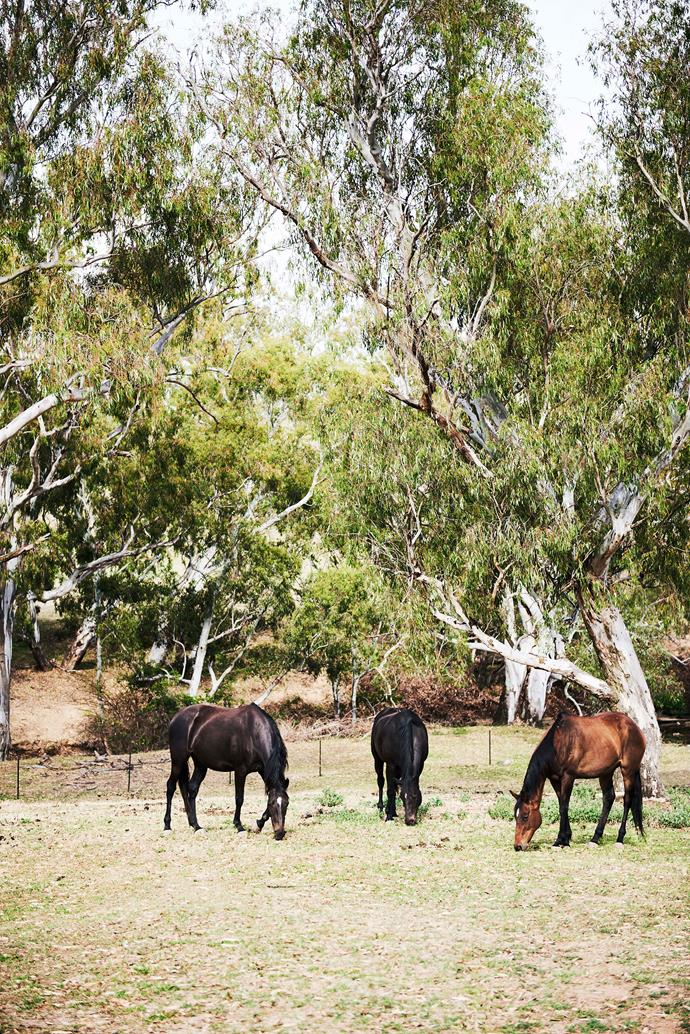 Graphite, Fortune and Candy graze in a paddock.