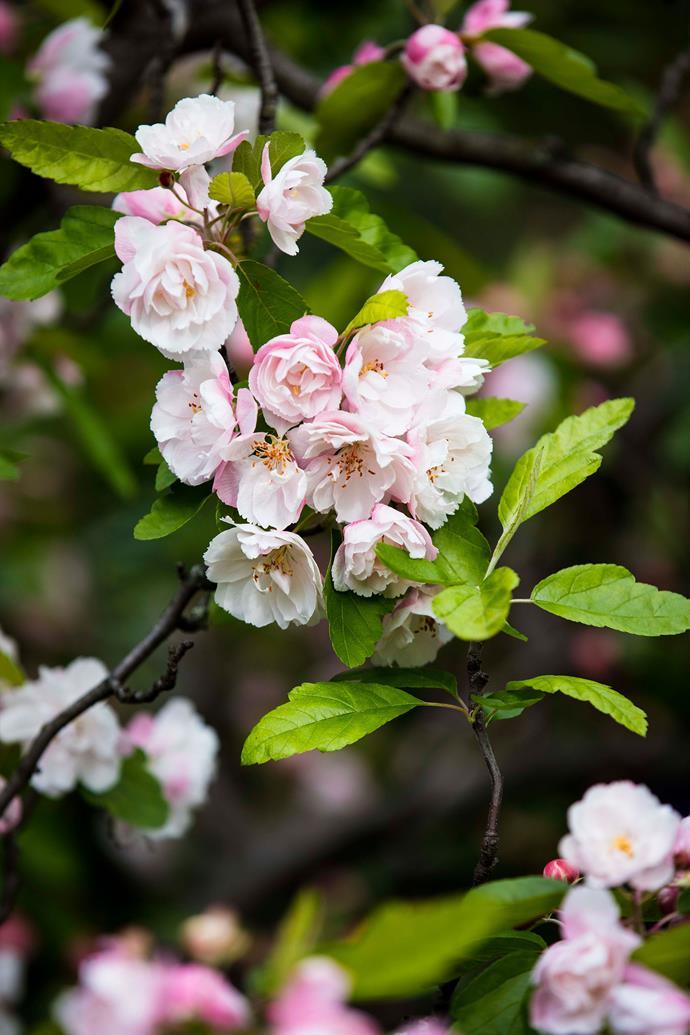 Crabapple (Malus floribunda) blossoms.