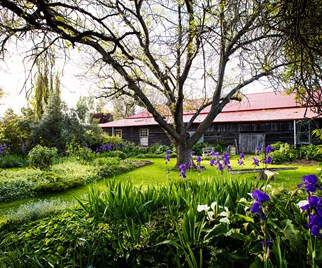 Green and purple country garden in Tasmania with ancient mulberry tree