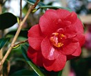 6 common camellia species