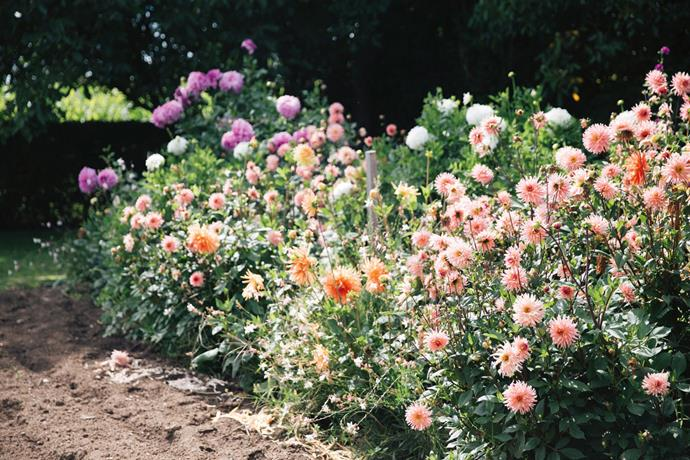 "Dahlias in the [vegetable patch](https://www.homestolove.com.au/how-to-start-a-vegetable-patch-5108|target=""_blank"")."