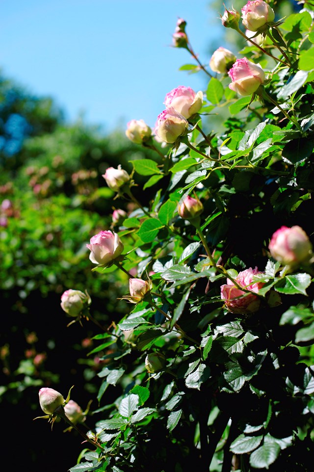 If you want an evergreen hedge or a feature plant for flowers during winter, camellias are for you.