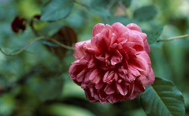 How to grow and care for camellias