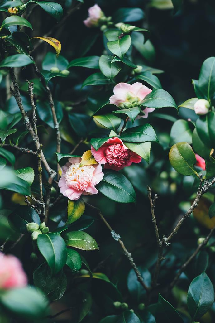 Sasanqua camellias are perfect for forming a fast-growing hedge that can be kept clipped to around 2–3m.