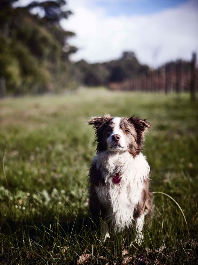 Matilda, the family's eight-year-old border collie, goes to work with Luke every day.