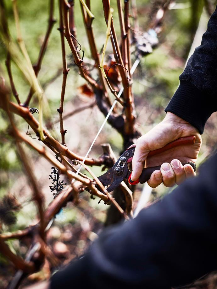 Luke running maintenance in the vineyard, pruning the vines.
