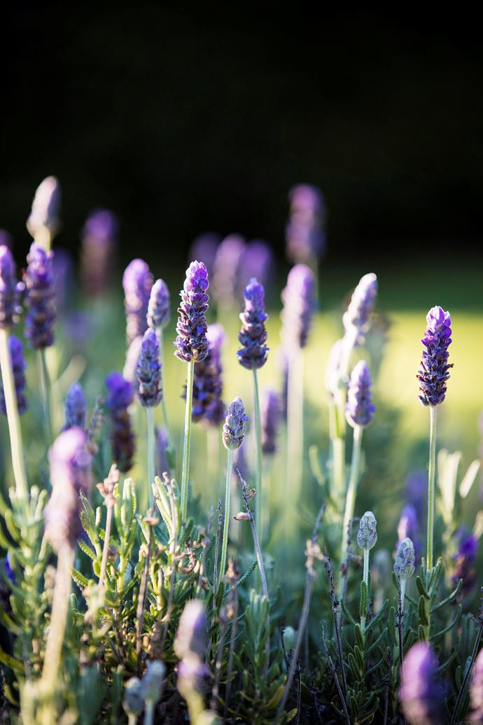 Hardy lavender thrives in well-drained parts of the garden, and only require minimal watering.