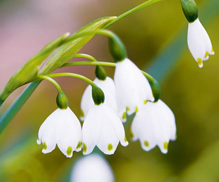 Plant Guide Snowdrops And Snowflakes Homes To Love