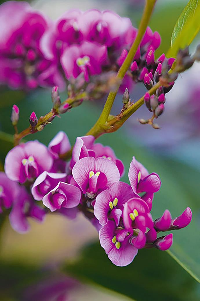 <P>**HARDENBERGIA**<p> <p>Hardenbergia is a flowering native climber known as the 'happy wanderer'! Plant in well drained soil and semi shade.<p>