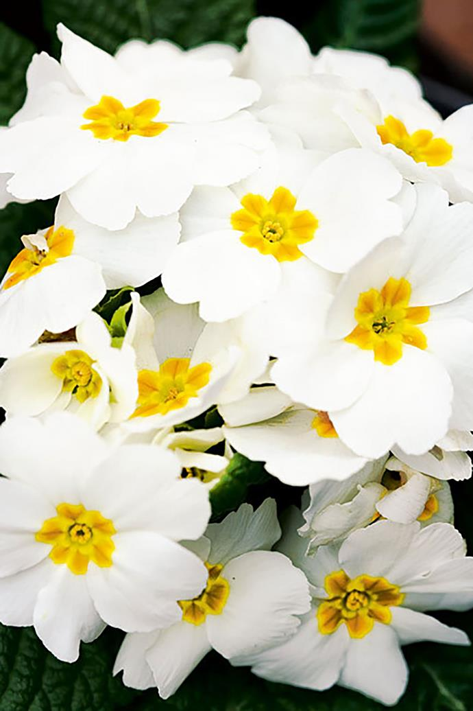 <p>**POLYANTHUS**<p> <p>Give Polyanthus plenty of sunshine and it will thrive in either pots or in the garden. Water with a seaweed solution to ensure a healthy plant.<p>