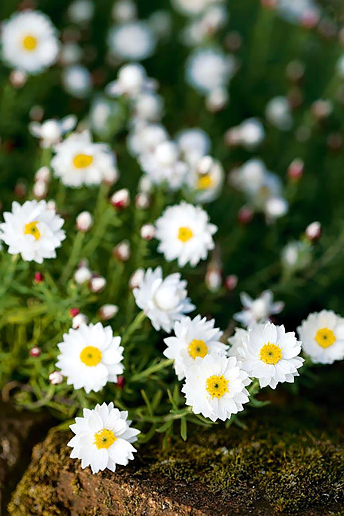 <p>**PAPER DAISY**<p> <p>Plant paper daisies in well drained soil. For an abundant display of flowers, plant several of them together.<p>