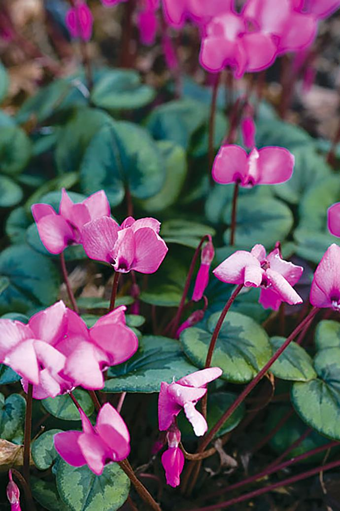 <p>**CYCLAMEN**<p> <p>The flowers of Cyclamen are dormant throughout summer but they come alive and show their true colours in autumn.<p>