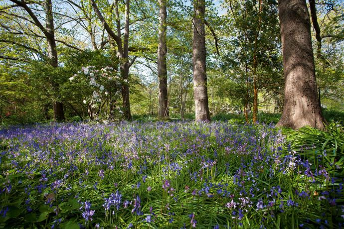 """From early August until the end of October the woodland is carpeted with a progression of bulbs — crocus, cyclamens, hellebores, jonquils, daffodils and bluebells. """"The entire spring is like an orchestra tuning up and the final crescendo is the vast spread of the bluebells,"""" Jan says. Large trees, including pin oaks (Quercus palustris) and Japanese maples (Acer palmatum), spread a dense canopy over the winding paths and mossy steps."""