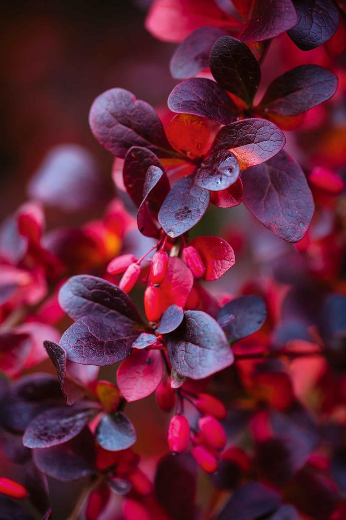 Purple and red leaves of Berberis thunbergii f. atropurpurea.