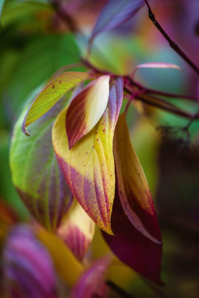 "[Autumnal tones on the leaves](https://www.homestolove.com.au/autumn-leaves-in-australia-9844|target=""_blank"") of Cornus alba 'Sibirica.' ""Gardening is really a partnership between nature and artifice,"" says Janet. ""It's an ever-changing pursuit. I aim for serenity and simplicity but there's only one body and one pair of hands!"""