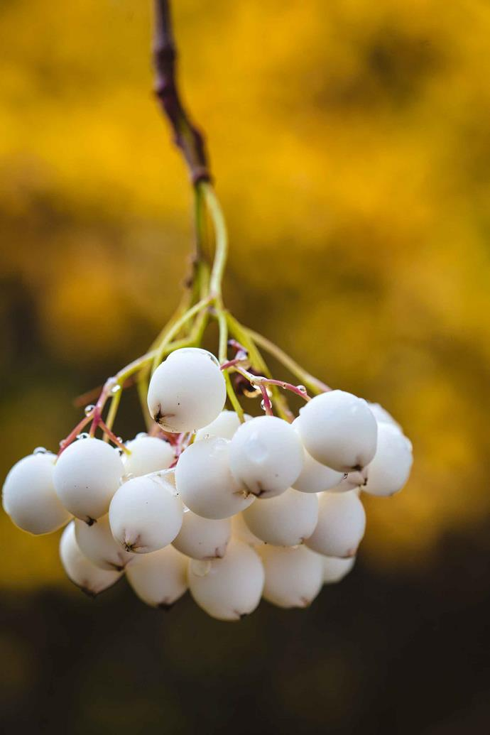 "Sorbus form a line of brilliant colour in the autumn days, their white berries ""like pearls of the garden"", says Janet. All comes together as a harmonious entity with ribbons of green hedging binding the garden together."