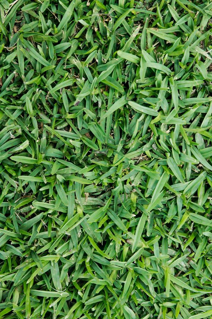 Buffalo grass is perhaps the most popular choice for Australian lawns.