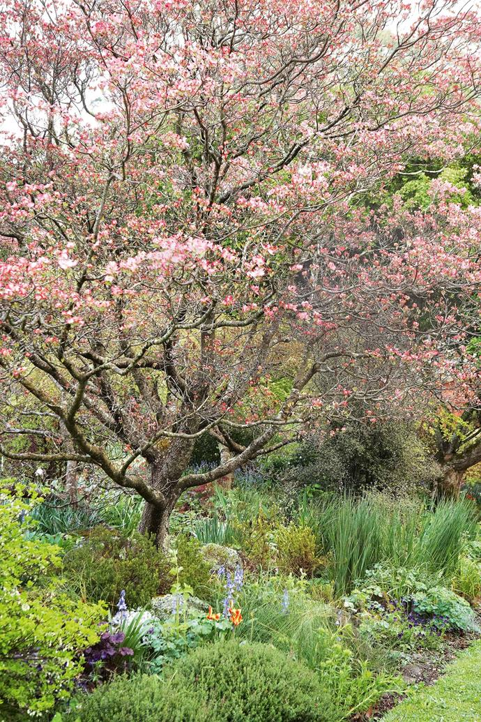 A 'Cheroekee Chief' tree in bloom. From the top of the garden Don and I look down through the thick dark foliage. A ghostly pink tree flickers into sight, strangely pale and striking. Don explains that it's a Cedrela sinensis, related to the Australian red cedar, and it appears in this colour only in cooler climates.
