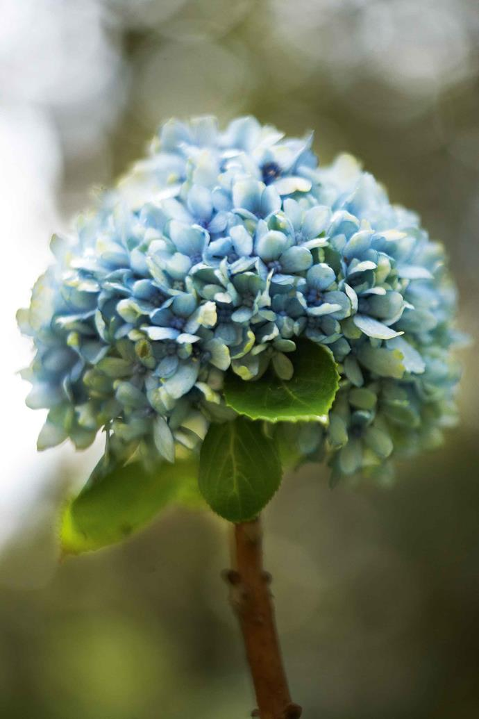 "Don inherited an extensive collection of heritage hydrangeas assembled by his friend Joan Arnold, whose Buskers End was one of the outstanding gardens of the NSW Southern Highlands for many years. He brought the [new hydrangea varieties](https://www.homestolove.com.au/5-exciting-new-hydrangea-varieties-4409|target=""_blank"") to Winterwood as cuttings wrapped in newspaper. They include a group of small wild hydrangeas and a few climbing varieties."