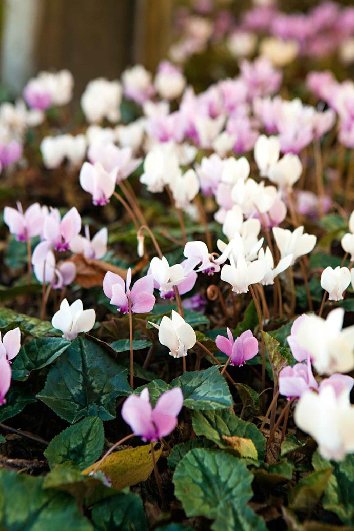 """Rock cyclamen (Cyclamen hederifolium). """"It is amazing what you can teach yourself if you are driven and passionate,"""" Craig says. His philosophy is that passion and joy make life worth living and his garden is perfect testimony to that sentiment."""