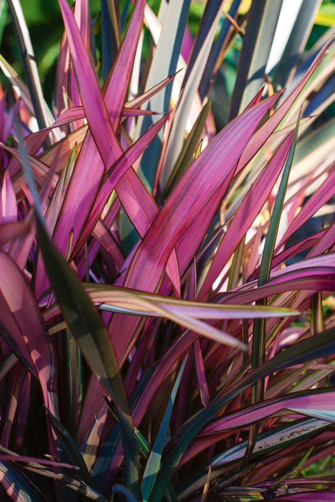 "Eye-catching phormium. ""In the classic way, I have made sure that the plantings become more naturalistic and less structured as you move away from the house. I try to get the natural wetland and forest backdrop to blend with the garden plantings as seamlessly as I can manage."""