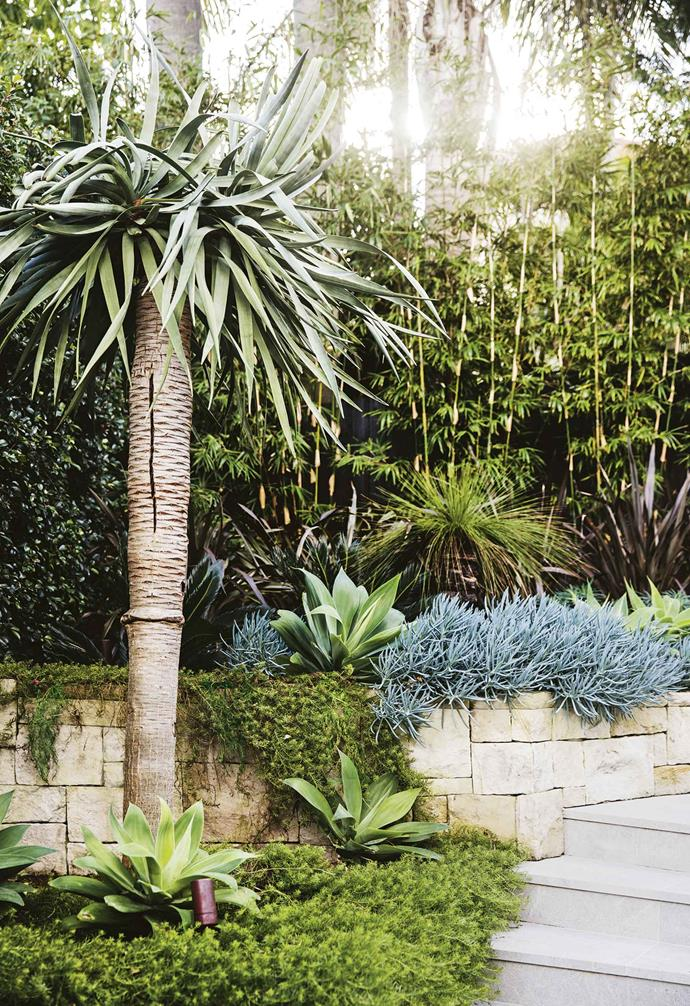 "Stepped retaining terraces flank the outer side of the stairs and are filled with textural planting combinations where foliage reigns supreme. Fine-leaf [groundcover](https://www.homestolove.com.au/a-guide-to-groundcovers-3632|target=""_blank"") *Myoporum parvifolium* spills over the wall, softening hard stone edges, while *Agave attenuata*, Phormium 'Bronze Warrior', *Senecio mandraliscae* and *Euphorbia characias subsp. wulfenii* create contrast with their striking shapes and colours.<br><br>**Steps** An imposing *Dracaena draco* (Dragon's Blood tree) stands sentry at the foot of the curved staircase. A *Xanthorrhoea johnsoni*i (Grass tree) at the rear helps frame a waterfall of *Senecio mandraliscae* (Blue chalk sticks) and *Myoporum parvifolium*, while several *Agave attenuata* provide textural contrast."
