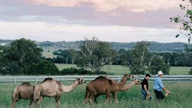 On the farm with camel milk producers in Queensland
