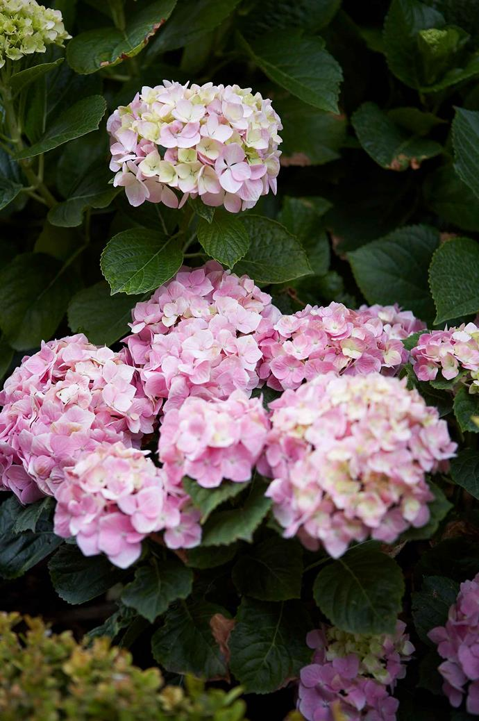 Winter is  the best time to cut back hydrangeas.