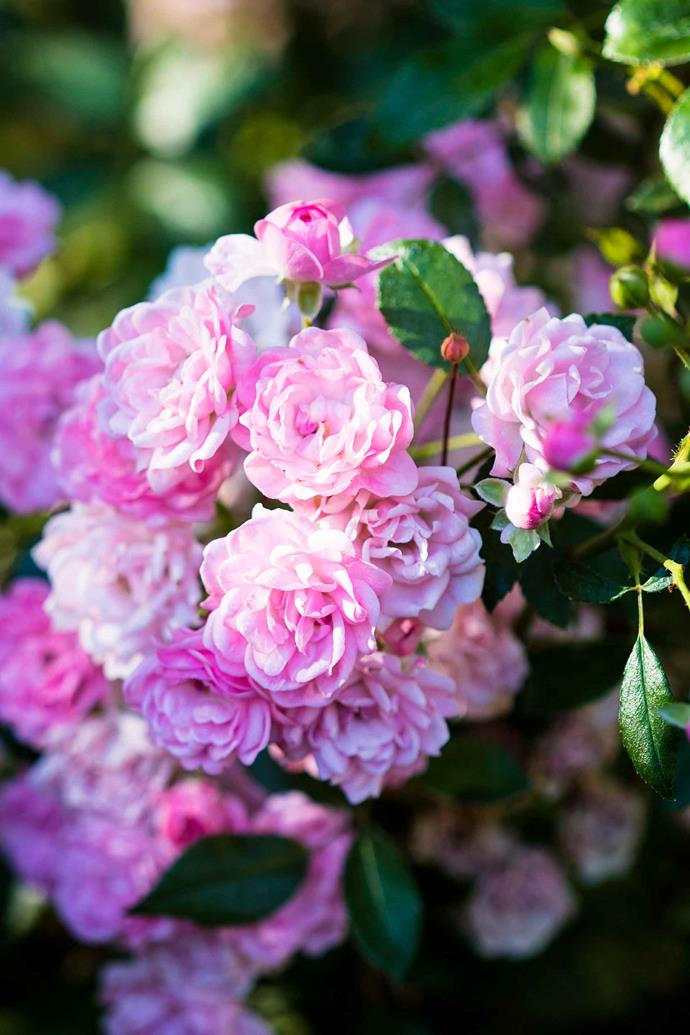Along with dead-heading, pruning back suckers and old branches is essential for a tidy looking rose bush.