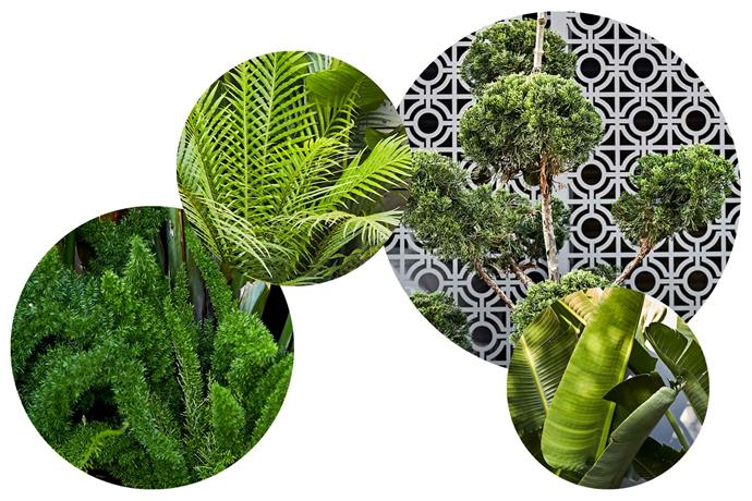 **Plant life** Lush tropical greenery and cloud topiary make for a sophisticated yet playful scheme. **Get the look** (from left) *Asparagus densiflorus* 'Meyersii'. *Blechnum* 'Silver Lady'. *Juniperus cloud tree*. *Strelitzia nicolai*.