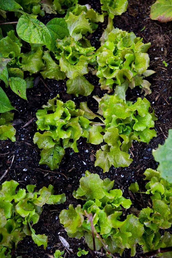 Your lettuce will thank you for adding a touch of ash to the soil.