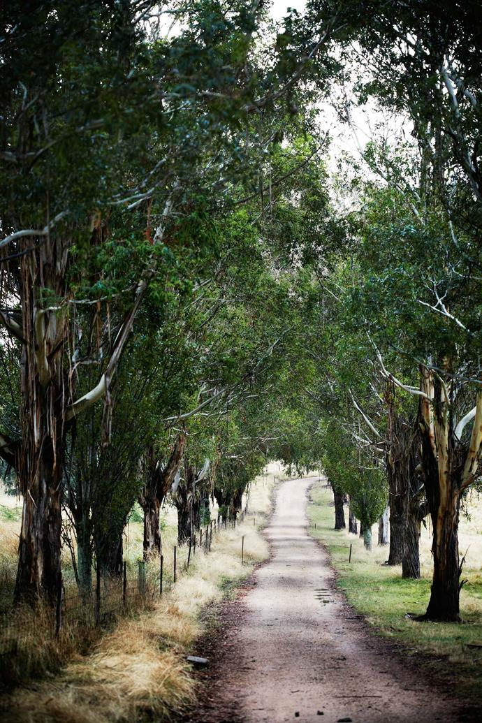 Gum trees (Eucalyptus viminalis), planted in the 1980s, line the drive towards artist Greg Hyde's home.