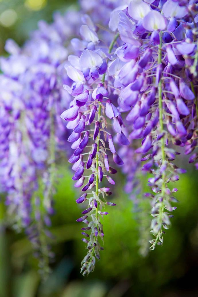 Wisteria is beloved for its long, trailing flowers.