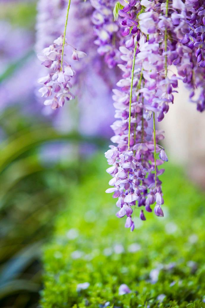 Wisteria is notorious for its ability to grow beyond allocated boundaries. Regular pruning will help keep it in check.